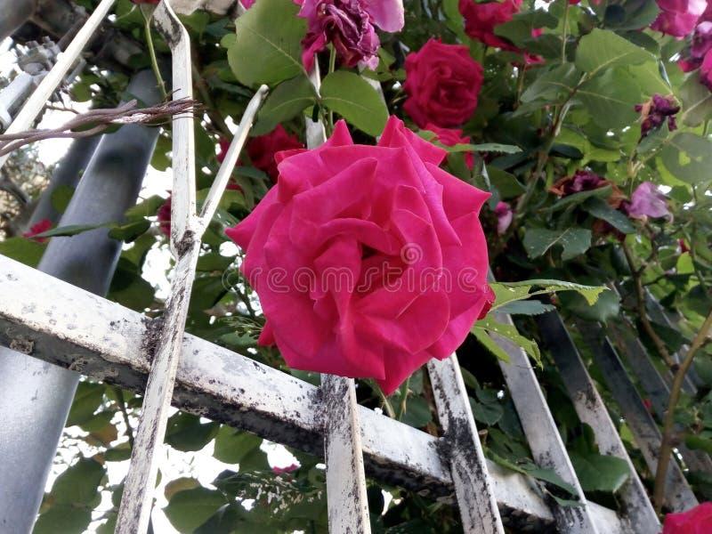 ` Di Lookin su dalla terra ad una bella rosa aperta di rosa! immagine stock libera da diritti
