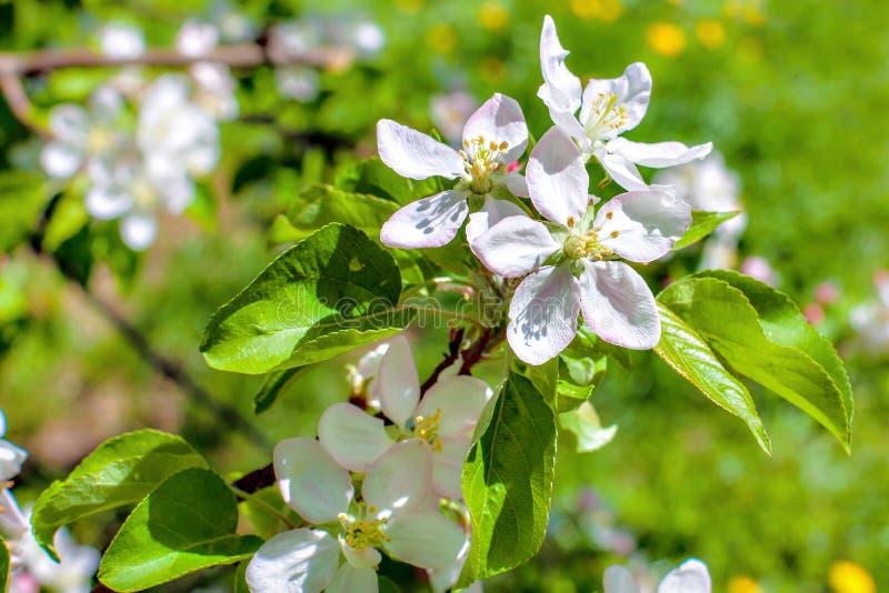 Di melo bianco fiorisce il primo piano La fioritura fiorisce in un fondo soleggiato del giorno di molla fotografia stock libera da diritti