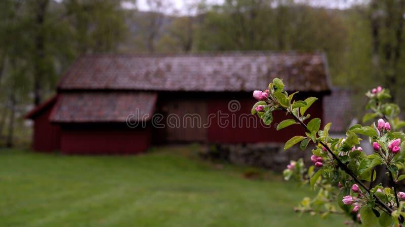 Di melo che sboccia con un granaio rosso storico e tradizionale nei precedenti immagini stock