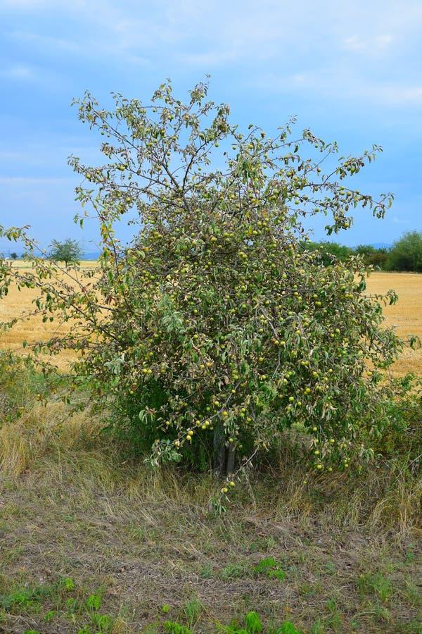 Di melo che soffre dalla siccità fotografia stock