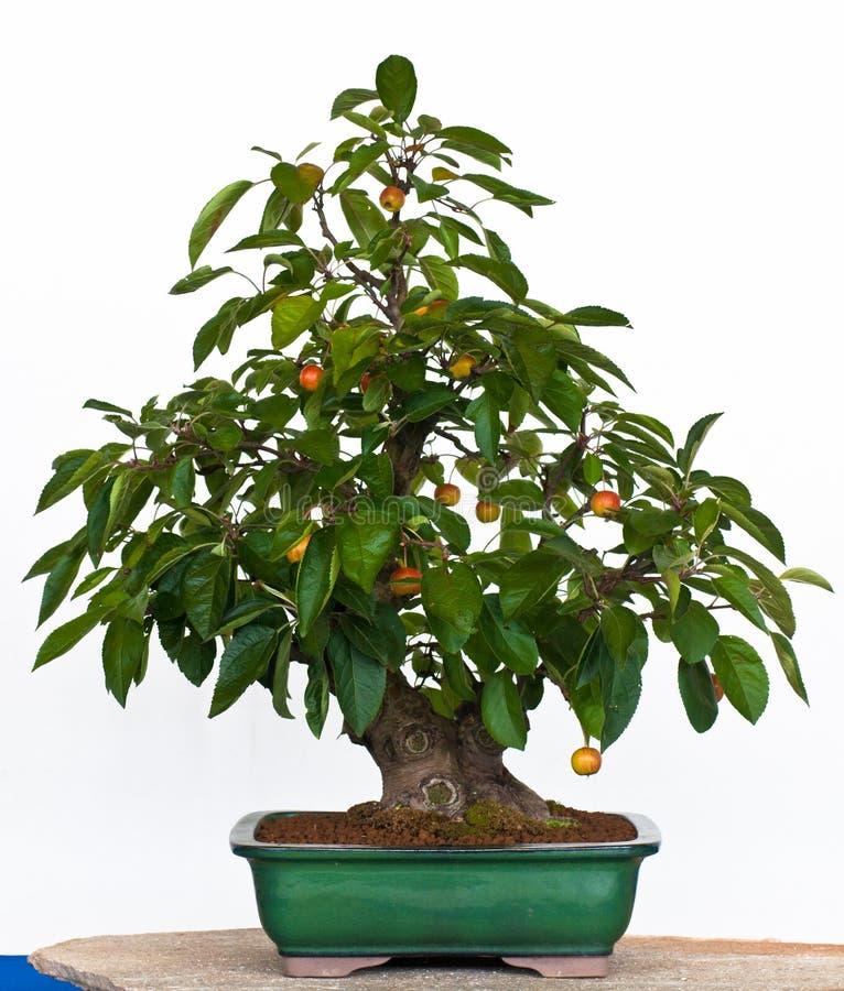 Di melo come bonsai fotografia stock
