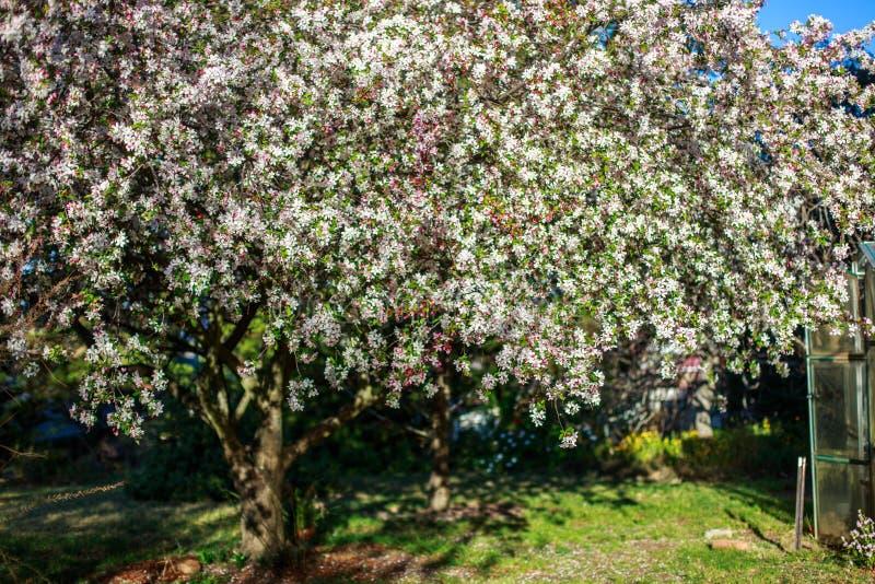 Di melo con i fiori bianchi fotografie stock