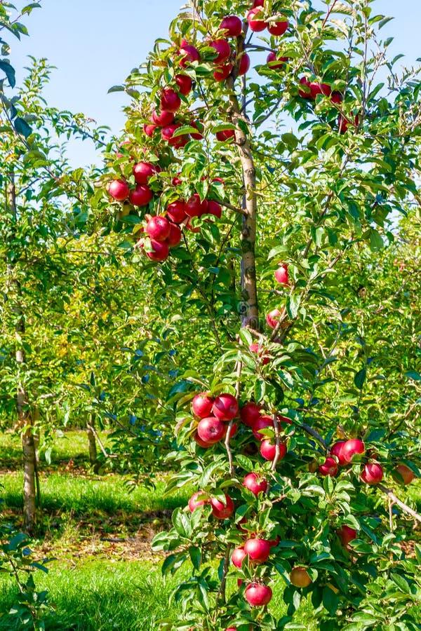 Di melo con le grandi mele rosse fotografie stock libere da diritti