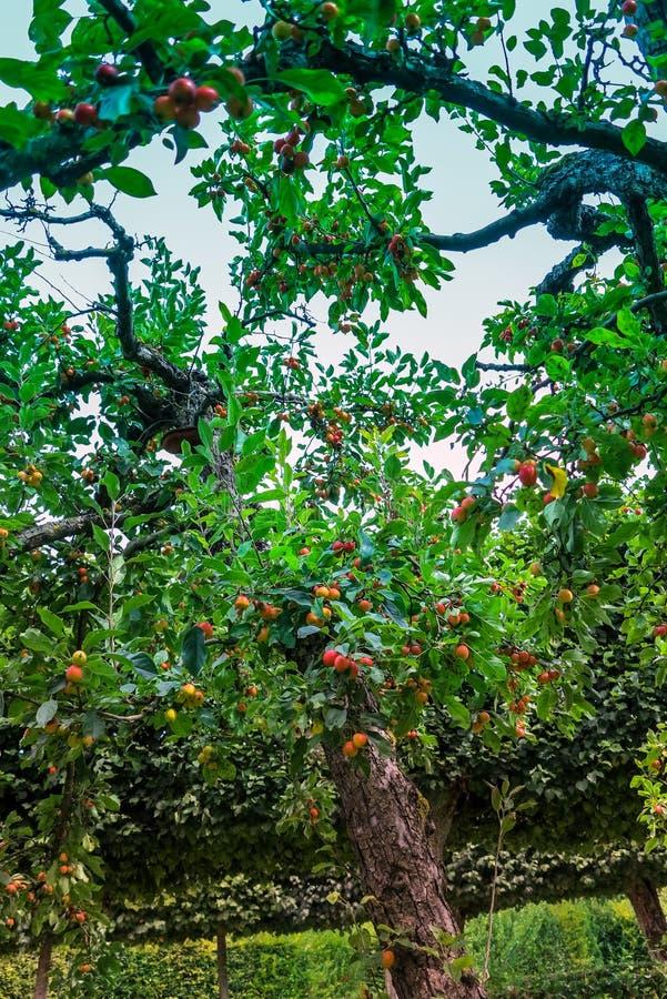 Di melo del granchio nel giardino del castello di Veitshoechheim, Germania fotografia stock