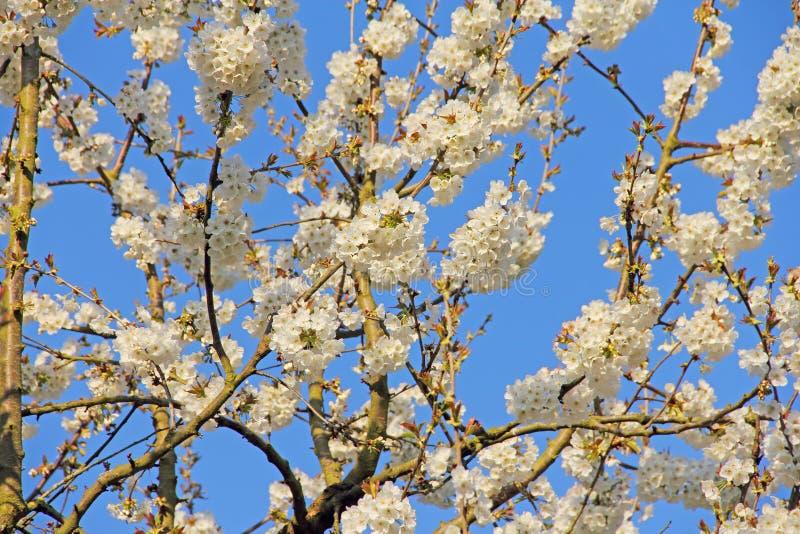 Di melo di fioritura fotografia stock