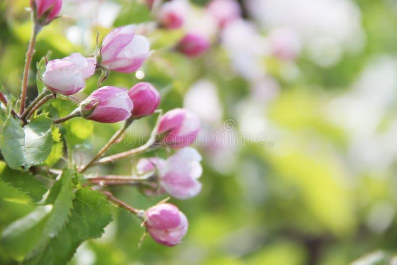 Di melo di fioritura fotografie stock libere da diritti