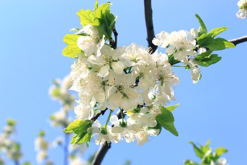 Di melo di fioritura immagini stock