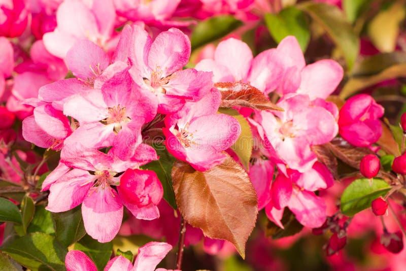 Di melo di fioritura con i fiori rosa fotografia stock