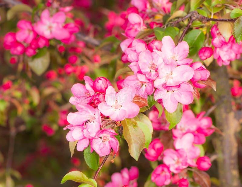 Di melo di fioritura con i fiori rosa fotografia stock libera da diritti