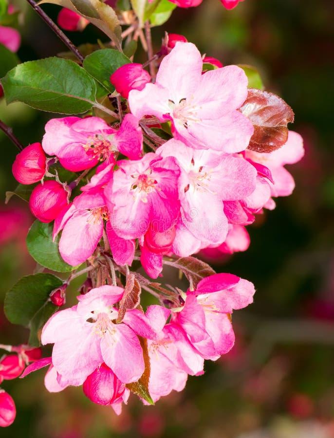 Di melo di fioritura con i fiori rosa fotografie stock libere da diritti
