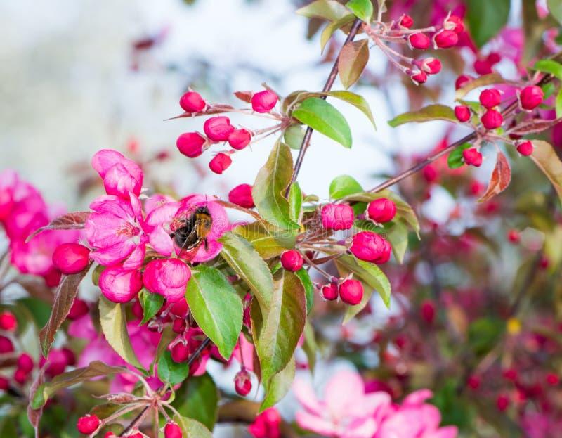 Di melo di fioritura con i fiori rosa immagini stock