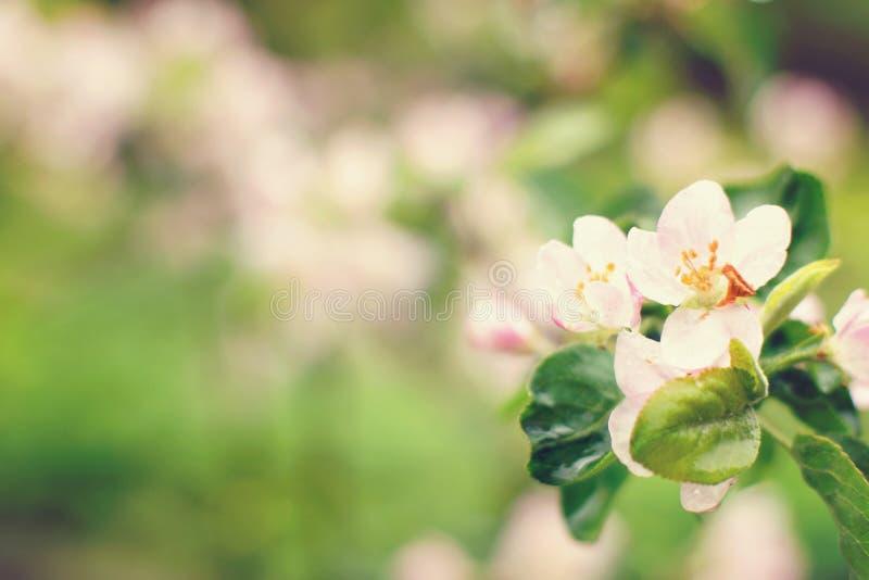 Di melo di fioritura dopo la pioggia, dentella i fiori e le foglie sono coperte di gocce immagine stock