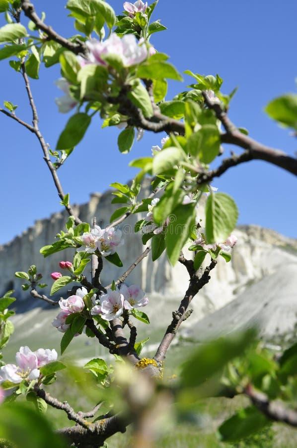 Di melo di fioritura e la montagna bianca immagini stock libere da diritti