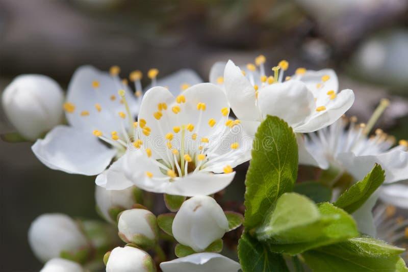 Di melo di fioritura Fiori bianchi di macro vista Paesaggio della natura della primavera Priorità bassa molle fotografia stock libera da diritti