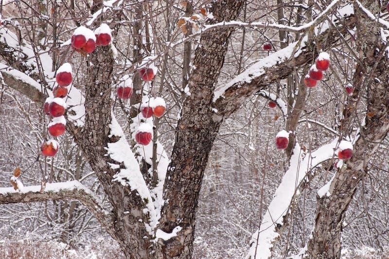 Di melo dopo le precipitazioni nevose fresche immagini stock libere da diritti
