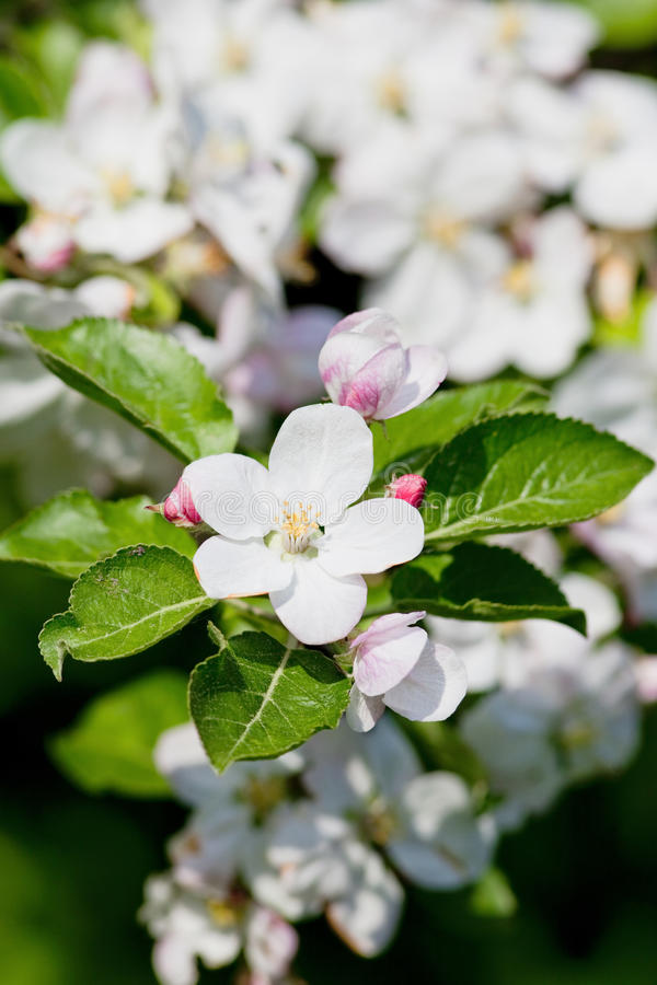 Di melo in fiore immagini stock