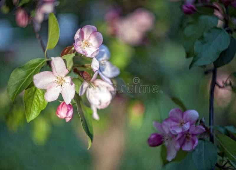 Di melo fiorisce e copre di foglie su un fondo confuso immagini stock libere da diritti