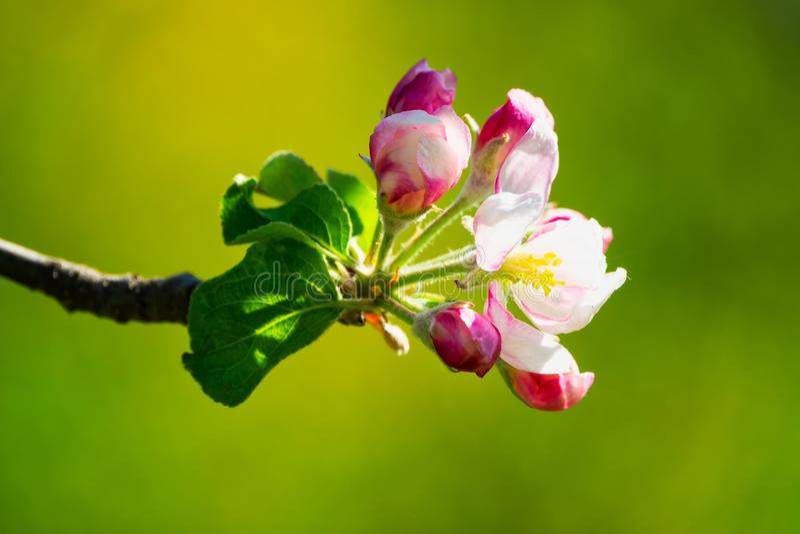 Di melo in fioritura fotografia stock libera da diritti