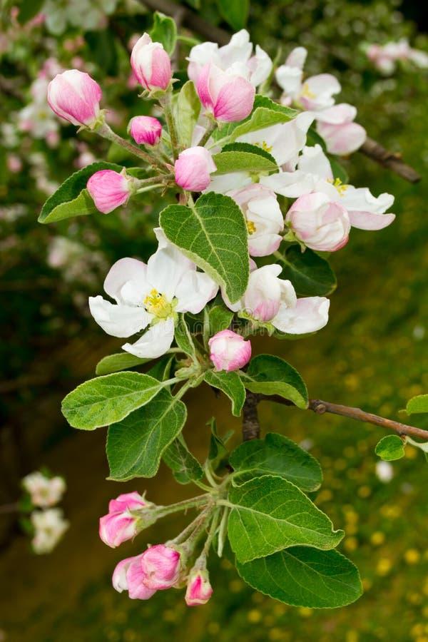 Di melo in fioritura fotografie stock