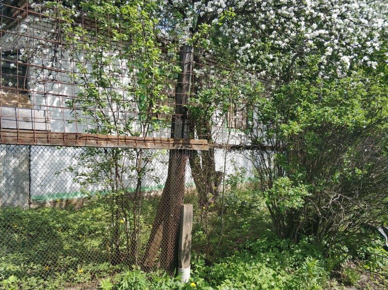 Di melo di fioritura sta dietro un recinto davanti ad una vecchia casa con mattoni a vista bianca Sorgente fotografie stock