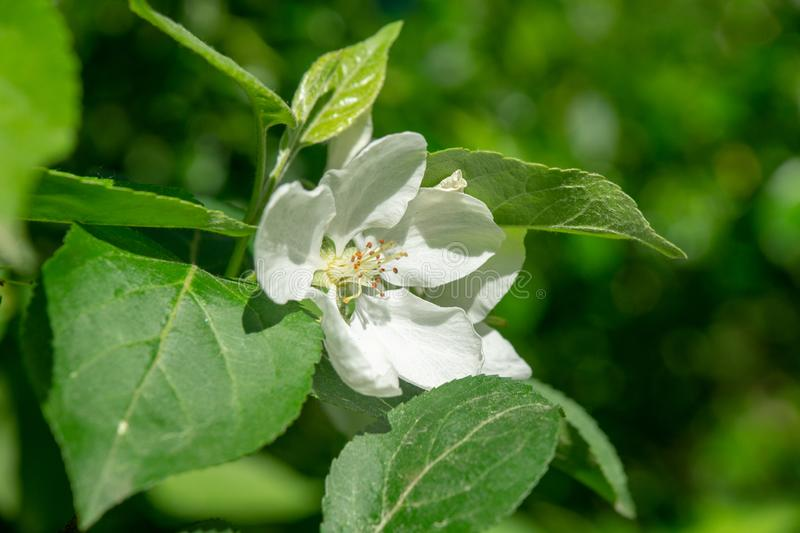 Di melo di fioritura in un parco della città su una molla soleggiata immagini stock