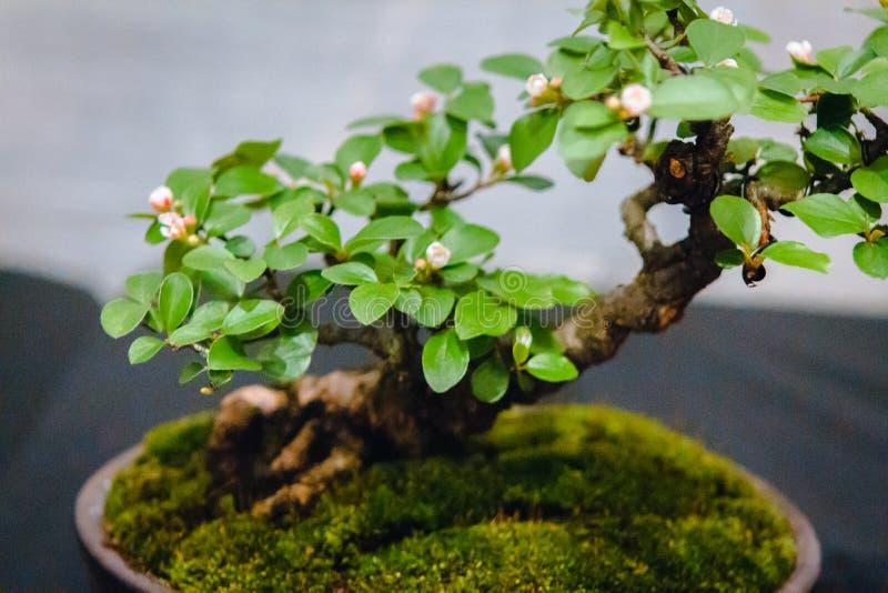 Di melo minuscolo dei bonsai su esposizione a Grand Rapids Michigan fotografia stock