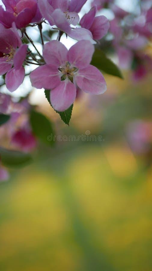 Di melo sbocciante con i fiori rosa luminosi su un fondo di erba verde fotografia stock libera da diritti
