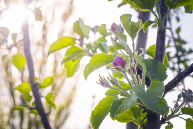 Di melo sboccianti dei germogli rosa contro il sole fotografia stock