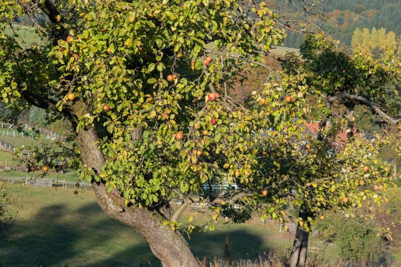 Di melo spinoso con le mele prima del raccolto in autunno immagini stock