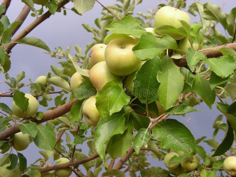 Di melo in tempesta immagini stock libere da diritti
