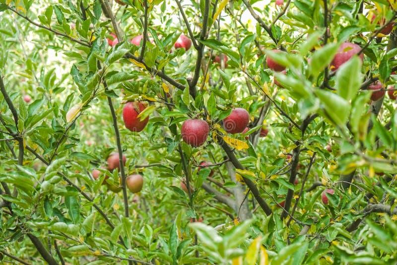 Di melo in un frutteto immagine stock libera da diritti