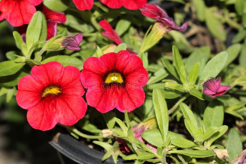 ` Di Mini Famous Compact Red del ` di Calibrachoa, mini petunia fotografia stock libera da diritti