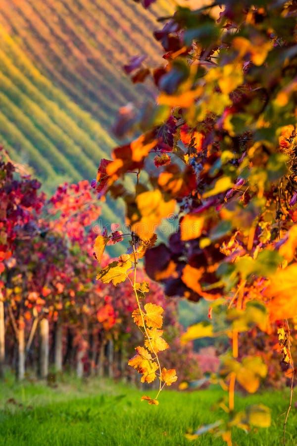 Di Modena de Castelvetro, vinhedos no outono fotos de stock