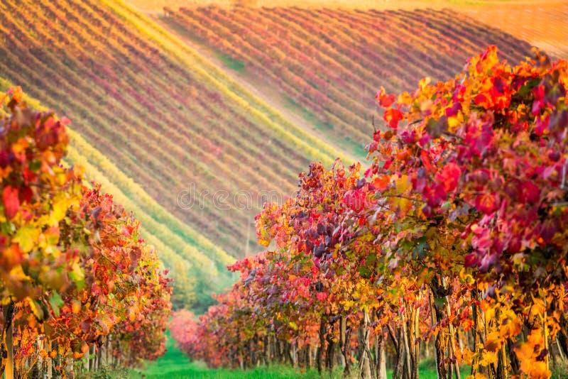 Di Modena de Castelvetro, vinhedos no outono fotografia de stock royalty free