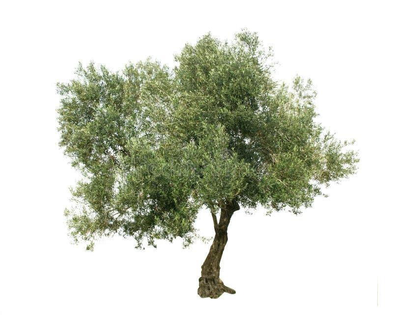 Di olivo fotografie stock libere da diritti