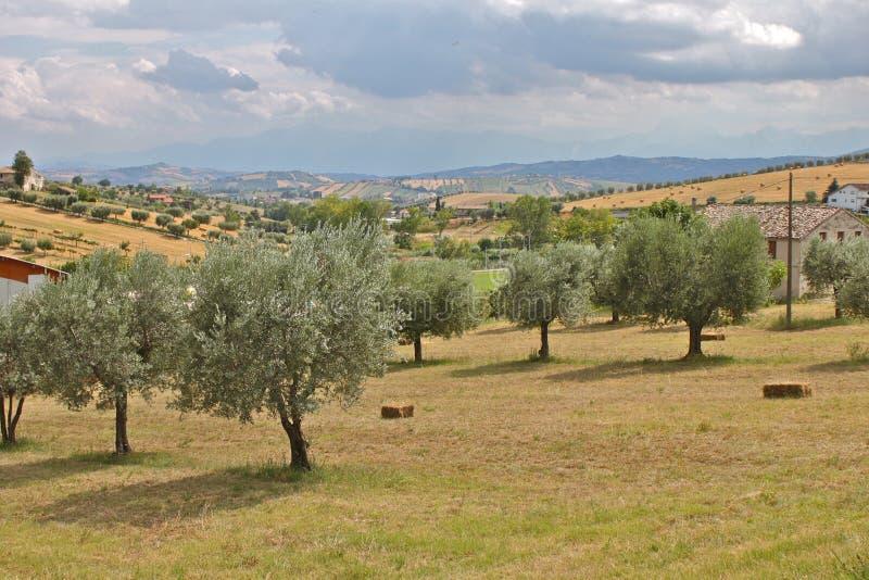 Di olivo immagine stock immagine di alberi campo for Acquisto piante olivo