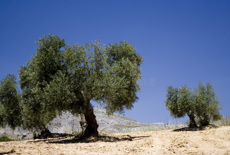 Di olivo immagine stock immagine di spain europa campi for Acquisto piante olivo