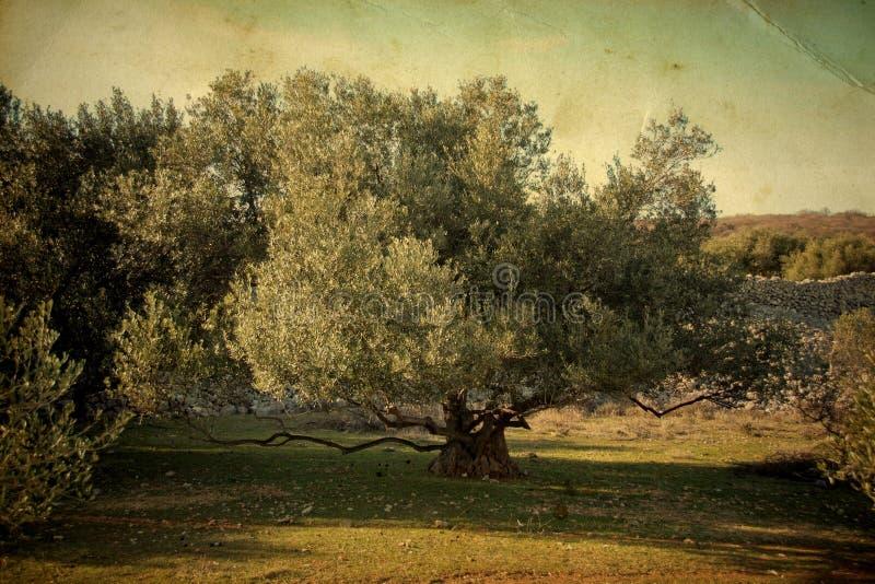 Di olivo immagine stock immagine di paesaggio croatia for Acquisto piante olivo