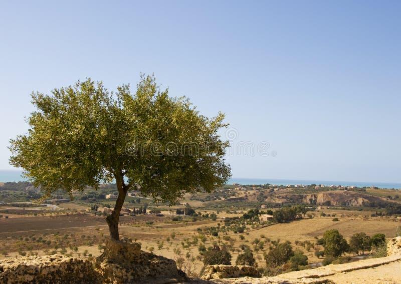 Di olivo fotografia stock immagine di podere salute for Acquisto piante olivo