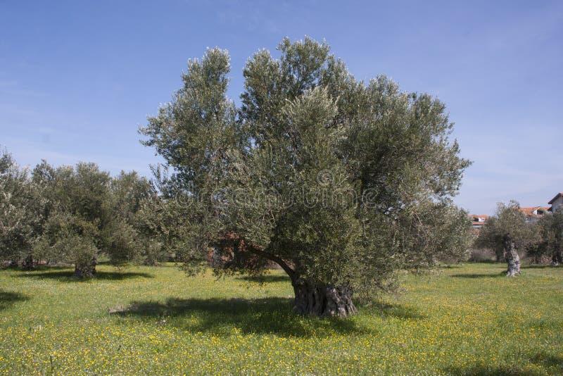 Di olivo immagini stock libere da diritti
