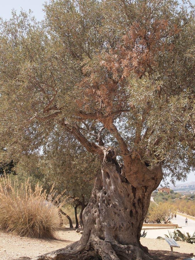 Di olivo antico fotografia stock libera da diritti