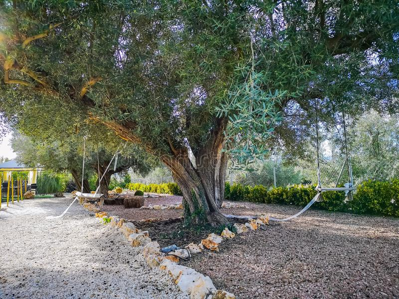 Di olivo centennale in giardino fotografia stock libera da diritti