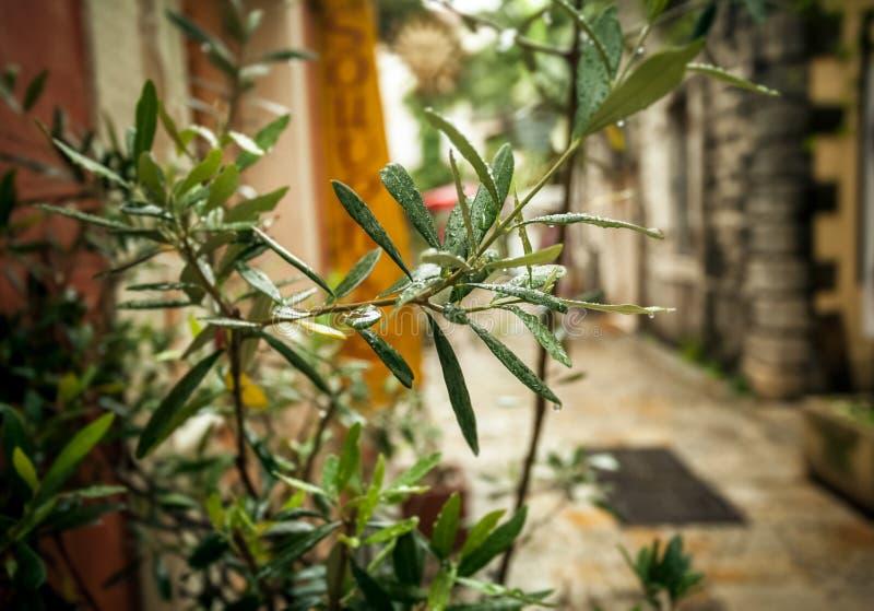 Di olivo che cresce sulla vecchia via greca al tempo piovoso fotografia stock libera da diritti