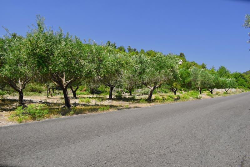 Di olivo dalla strada fotografie stock