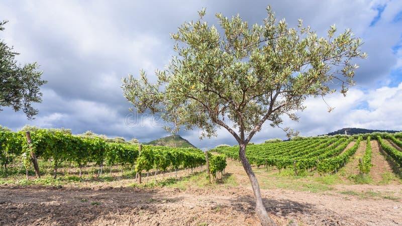 Di olivo davanti alle vigne nella regione di Etna immagini stock libere da diritti