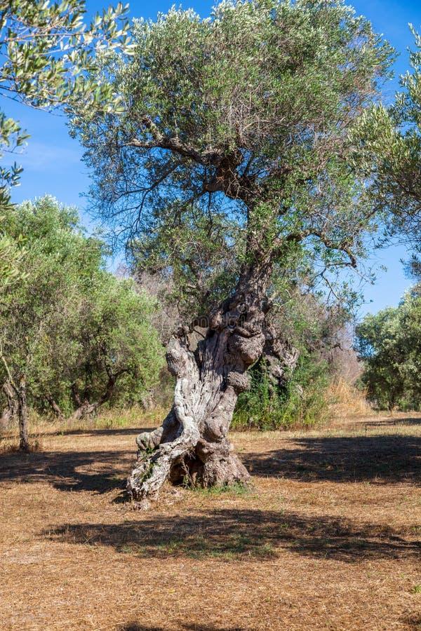 Di olivo nella campagna di Salento con i rami infettati con il xylella immagini stock libere da diritti