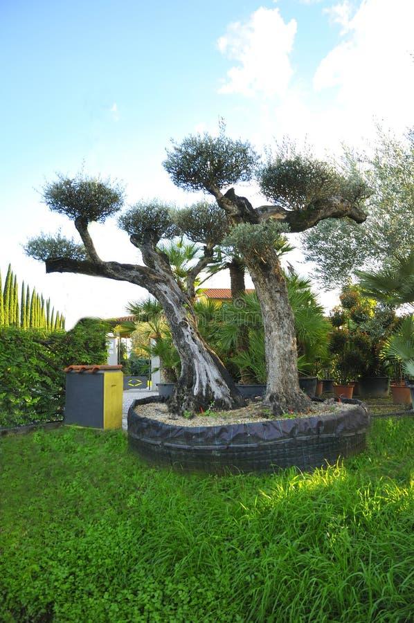 Di olivo ornamentale immagine stock immagine di serra for Piante ornamentali da giardino prezzi