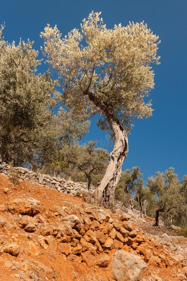 Di olivo torti immagine stock