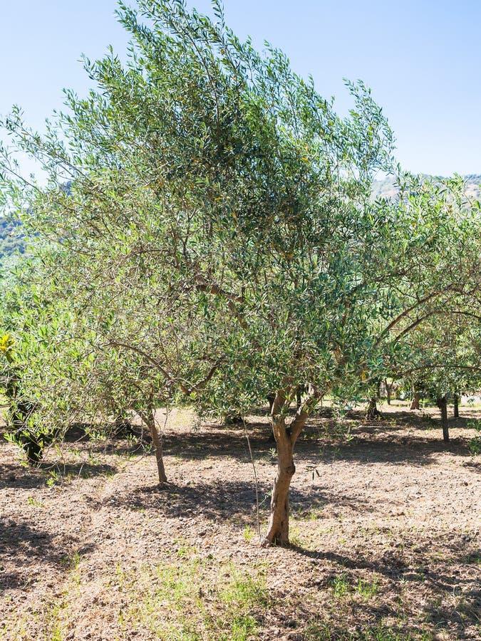 Di olivo verde in giardino in Sicilia fotografia stock libera da diritti