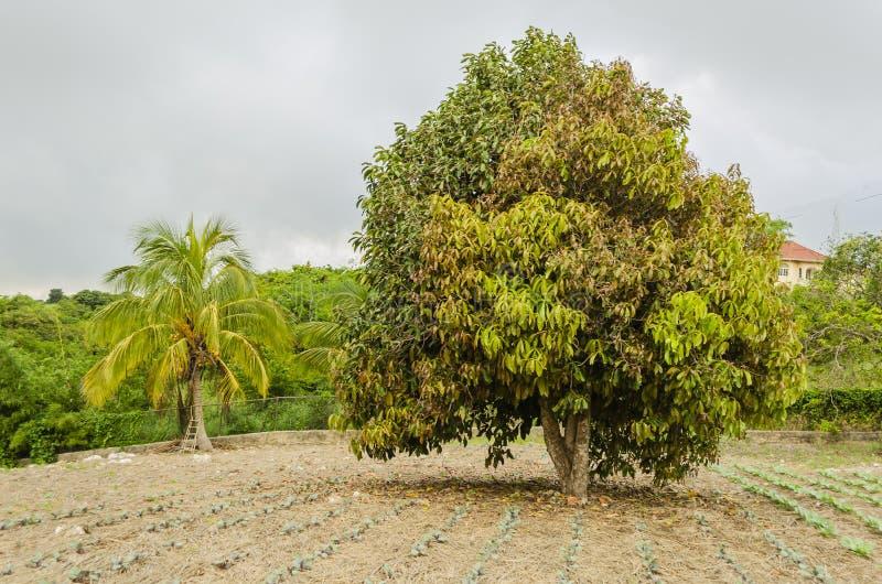 Di Otaheite melo con le giovani foglie immagini stock